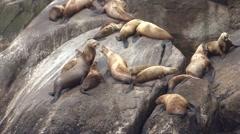 Stellers Sea Lions Summer Handheld Stock Footage