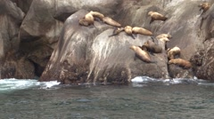 Stellers Sea Lions Summer Handheld Zoom Out Stock Footage