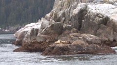 Stellers Sea Lions Many Resting Summer Zoom Out Stock Footage
