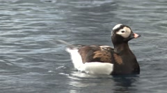 Waterfowl Seward Pair Summer Aka Long-tailed Duck Stock Footage