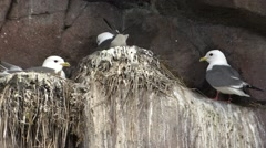 Black-legged Kittiwake Nesting Summer Cliff Nest Stock Footage
