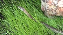 Western Terrestrial Garter Snake Lone Summer - stock footage