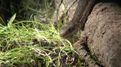 Western Terrestrial Garter Snake Lone Summer Stock Footage