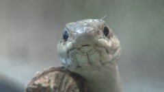 Western Terrestrial Garter Snake Lone Summer Closeup - stock footage