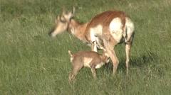 Pronghorn Antelope Ewe Adult Fawn Nursing Summer - stock footage