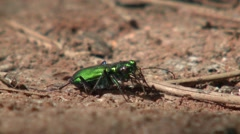 Beetle Black Hills Summer Stock Footage