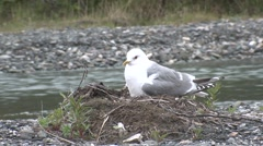 Mew Gull Male Female Adult Chicks Family Nesting Summer Stock Footage