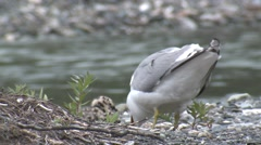 Mew Gull Adult Chicks Feeding Summer Stock Footage