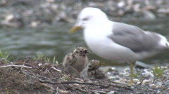 Mew Gull Family Nesting Summer Stock Footage