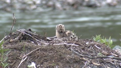 Mew Gull Chicks Nesting Summer - stock footage