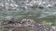 Mew Gull Nesting Summer - stock footage