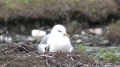 Mew Gull Family Nesting Summer - stock footage