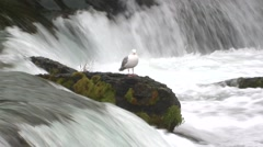 Glaucous-winged Gull Lone Summer Stock Footage