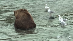 Brown Bear Feeding Summer - stock footage