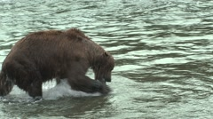 Brown Bear Adult Feeding Summer - stock footage