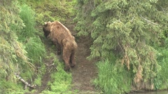 Brown Bear Adult Lone Walking Summer Old Stock Footage