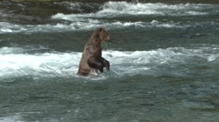 Brown Bear Standing Summer - stock footage
