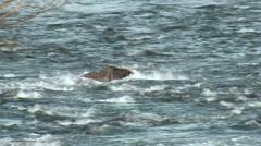Brown Bear Lone Fishing Summer Splashing Stock Footage
