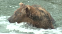 Brown Bear Lone Fishing Summer Closeup Stock Footage