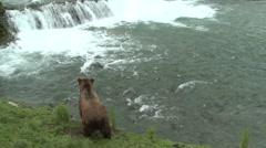 Brown Bear Summer Waterfall Brooks Falls Tilt Up - stock footage