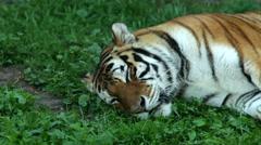 A sleeping Siberian tigress, lying on green grass in shadow. Stock Footage