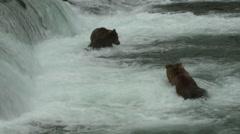 Brown Bear Adult Pair Fighting Summer Brooks Falls - stock footage