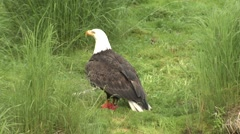 Bald Eagle Adult Flying Summer Salmon Carcass Stock Footage