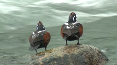 Harlequin Duck Drake Adult Pair Summer Stock Footage