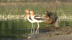 Avocet Pair Summer Wetland Stock Footage