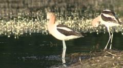 Avocet Pair Feeding Summer Stock Footage