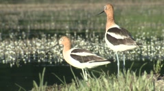 Avocet Pair Summer Stock Footage