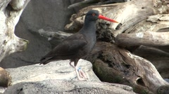Black Oystercatcher Lone Summer Stock Footage