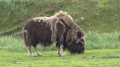 Musk Ox Lone Feeding Summer Stock Footage