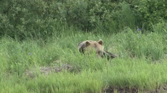 Brown Bear Lone Resting Summer Grass - stock footage