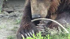 Stock Video Footage of Brown Bear Adult Lone Summer Claws Closeup