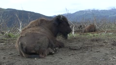 Wood Bison Lone Resting Summer Stock Footage