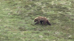 Grizzly Bear Walking Summer Zoom Out Stock Footage