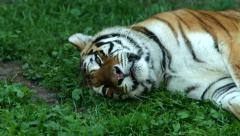 Light sleep of a Siberian tigress, lying on green grass in shadow. Stock Footage