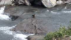 Harlequin Duck Female Summer Stock Footage