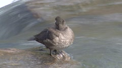Harlequin Duck Female Swimming Summer Stock Footage