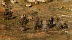 Welter in a pool among some thrushes and sparrows are having a bath Stock Footage