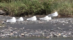 Mew Gull Several Resting Summer Stock Footage