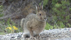 Snowshoe Hare Summer - stock footage