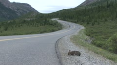 Snowshoe Hare Summer Road Stock Footage