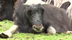 Musk Ox Young Resting Summer Stock Footage