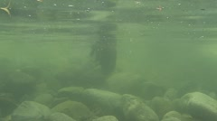 River Otter Lone Swimming Summer Stock Footage