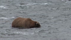 Brown Bear Lone Fishing Summer Stock Footage