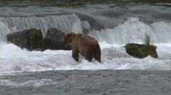 Brown Bear Standing Summer Waterfall Stock Footage
