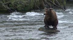 Brown Bear Grooming Summer Rock Stock Footage