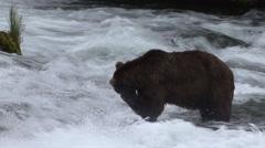 Brown Bear Summer Stock Footage